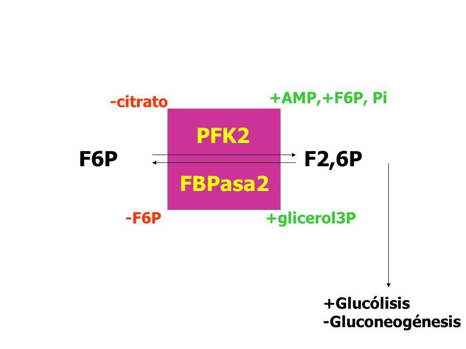 F2,6P F6P PFK2 FBPasa2 -citrato -F6P +AMP,+F6P, Pi +glicerol3P