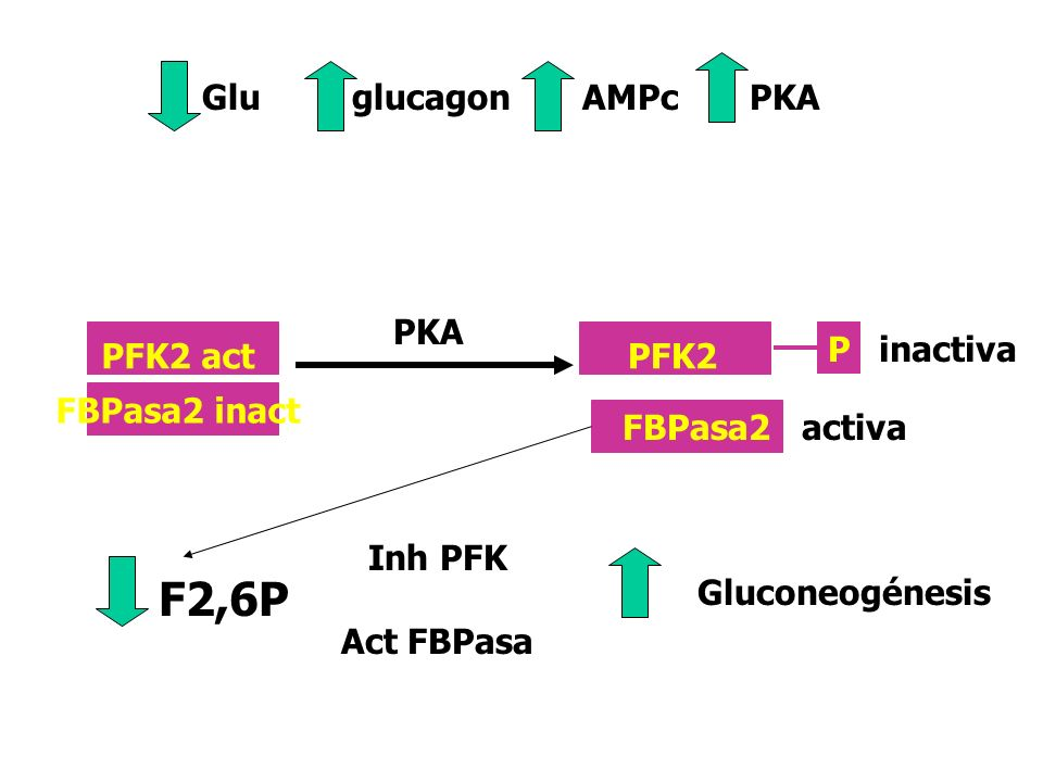 F2,6P Glu glucagon AMPc PKA PKA P inactiva PFK2 act PFK2 FBPasa2 inact