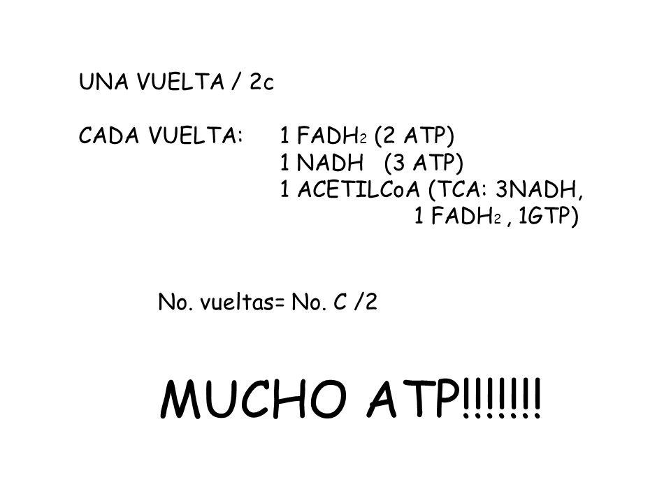 MUCHO ATP!!!!!!! UNA VUELTA / 2c CADA VUELTA: 1 FADH2 (2 ATP)