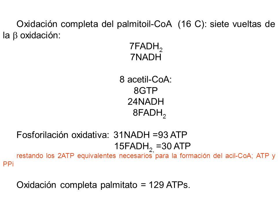 Fosforilación oxidativa: 31NADH =93 ATP 15FADH2, =30 ATP