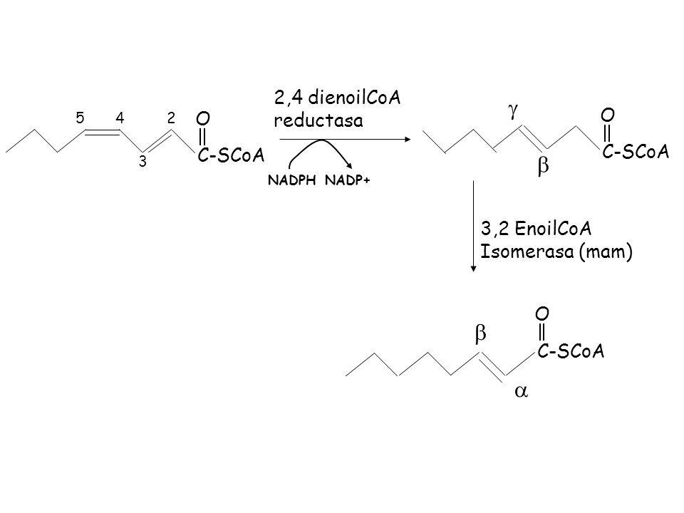g b a 2,4 dienoilCoA reductasa O C-SCoA 3,2 EnoilCoA Isomerasa (mam) 2