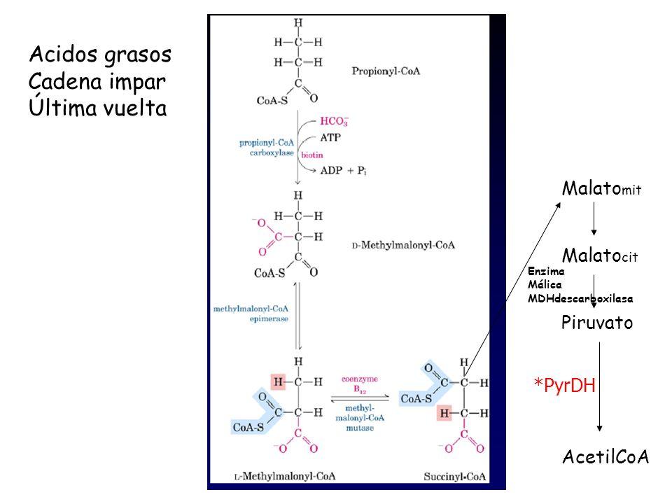 Acidos grasos Cadena impar Última vuelta Malatomit Malatocit Piruvato