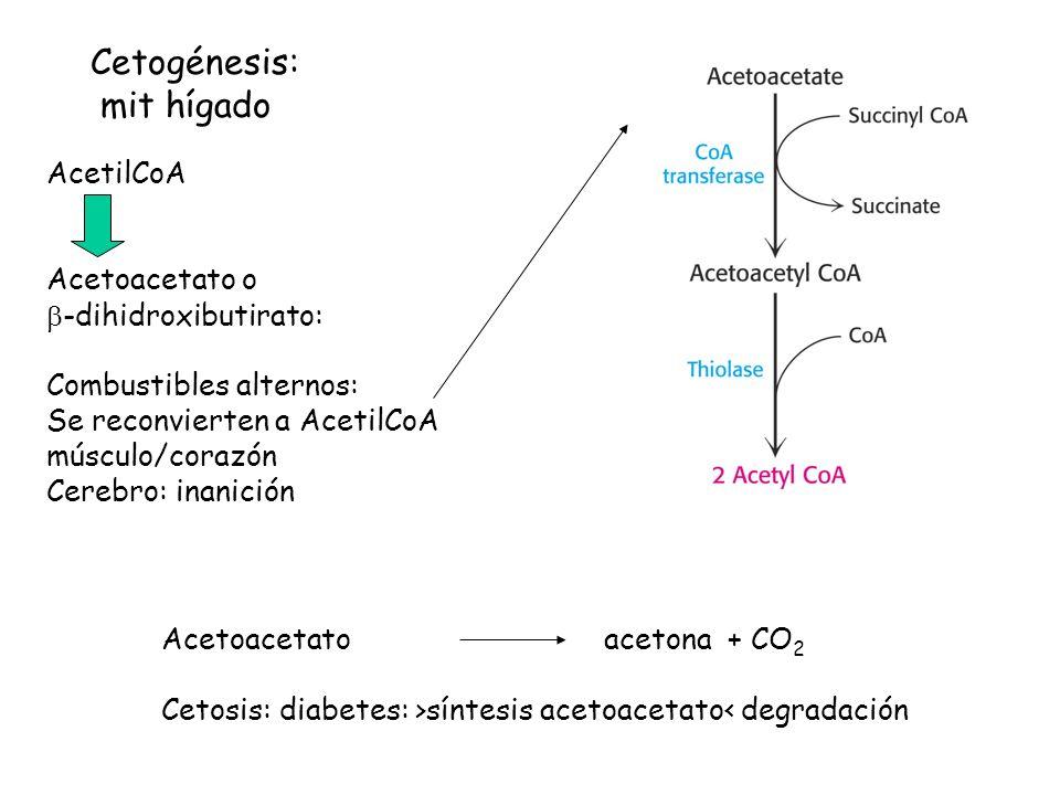 Cetogénesis: mit hígado AcetilCoA Acetoacetato o b-dihidroxibutirato: