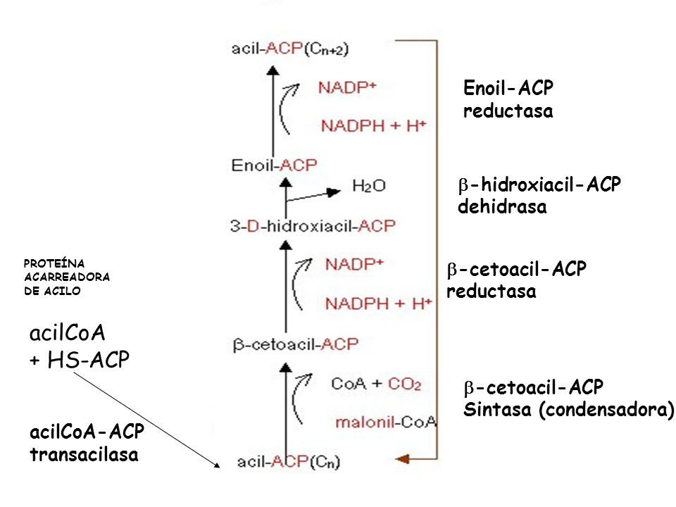 acilCoA + HS-ACP Enoil-ACP reductasa b-hidroxiacil-ACP dehidrasa