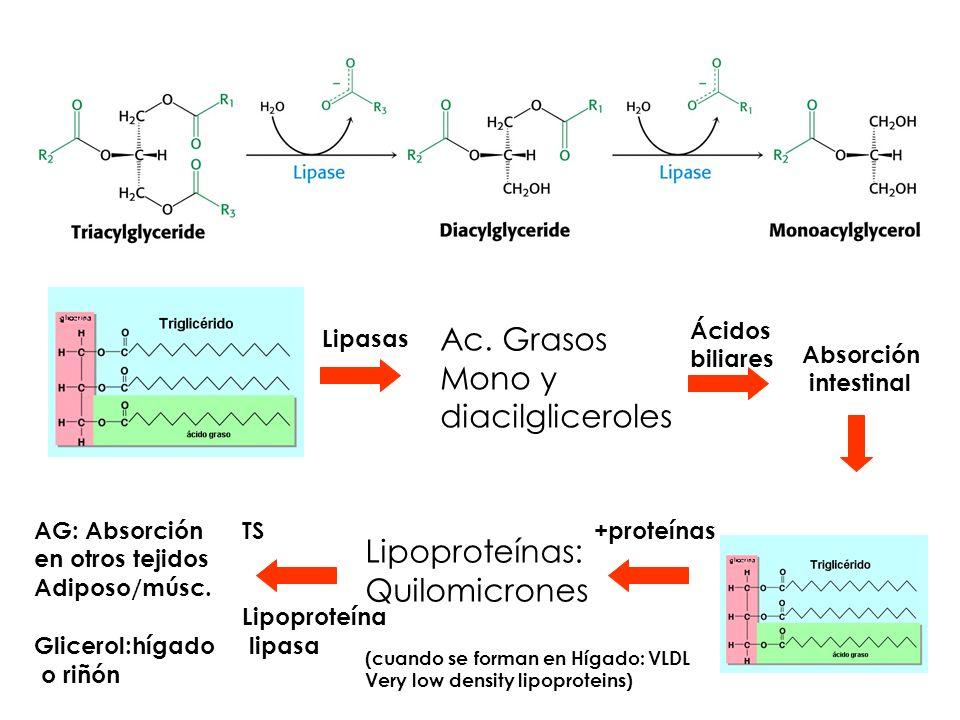 Ac. Grasos Mono y diacilgliceroles Lipoproteínas: Quilomicrones