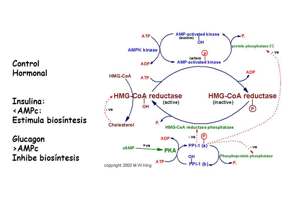 Control Hormonal Insulina: <AMPc: Estimula biosíntesis Glucagon >AMPc Inhibe biosíntesis