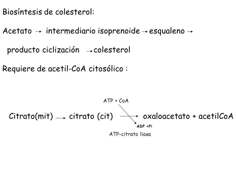 Biosíntesis de colesterol: Acetato intermediario isoprenoide esqualeno