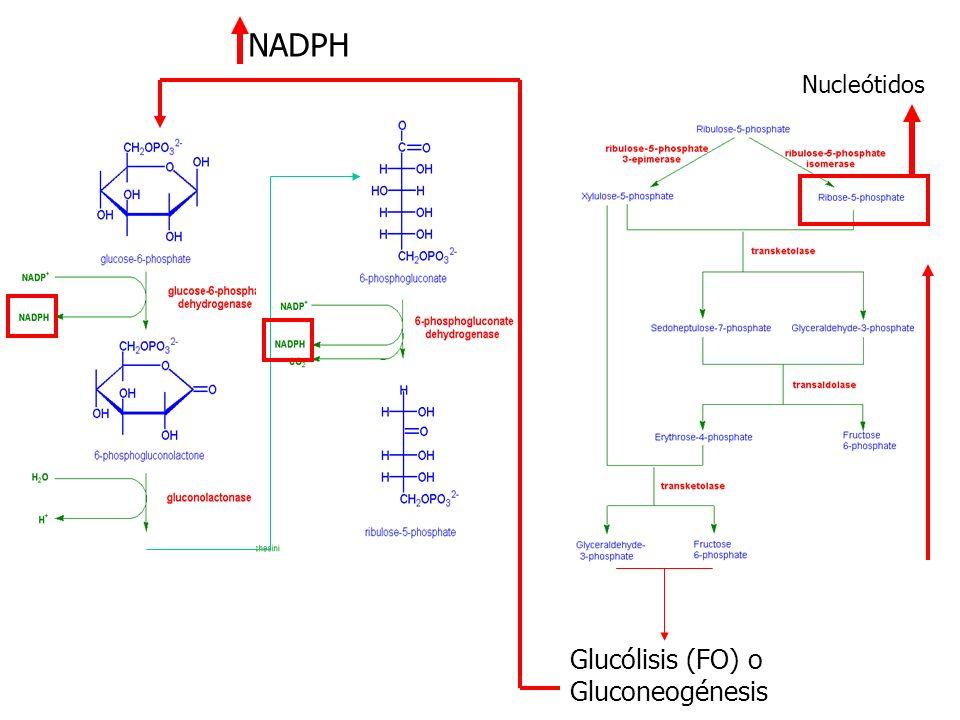 NADPH Nucleótidos Glucólisis (FO) o Gluconeogénesis