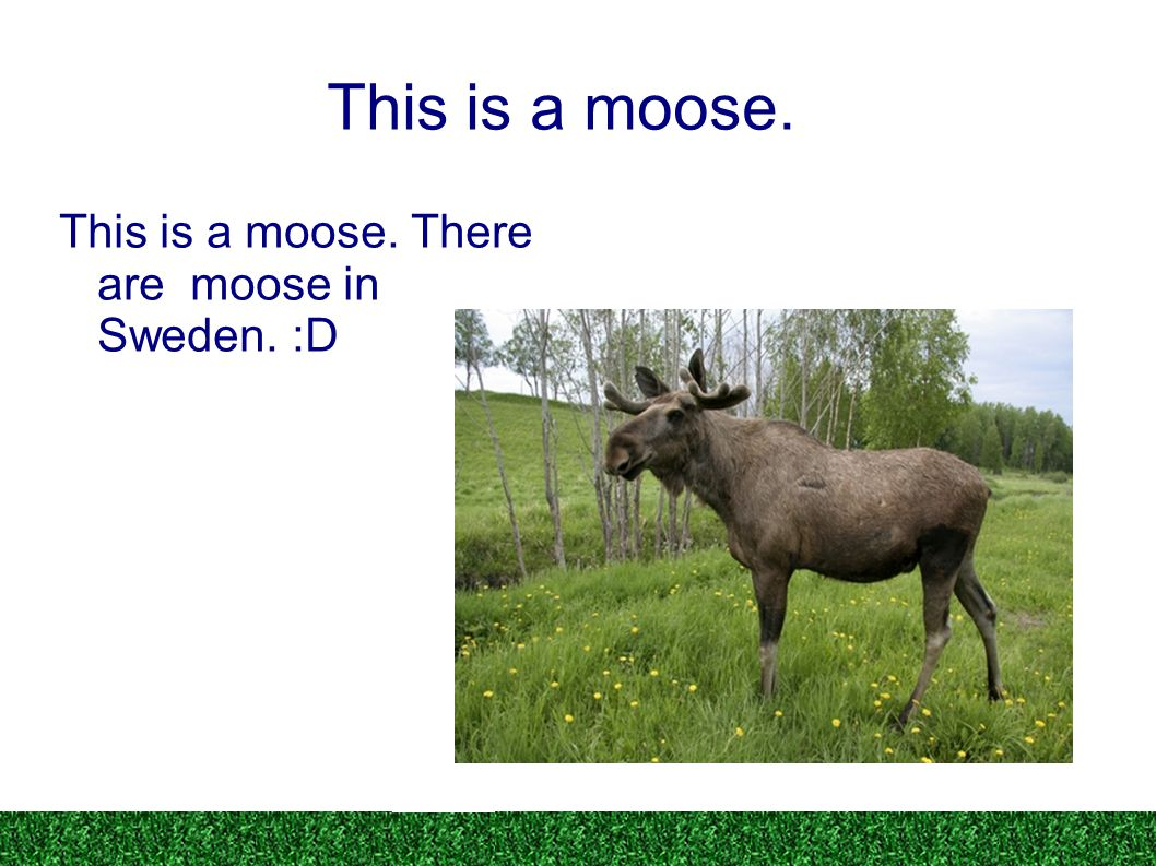 This is a moose. This is a moose. There are moose in Sweden. :D