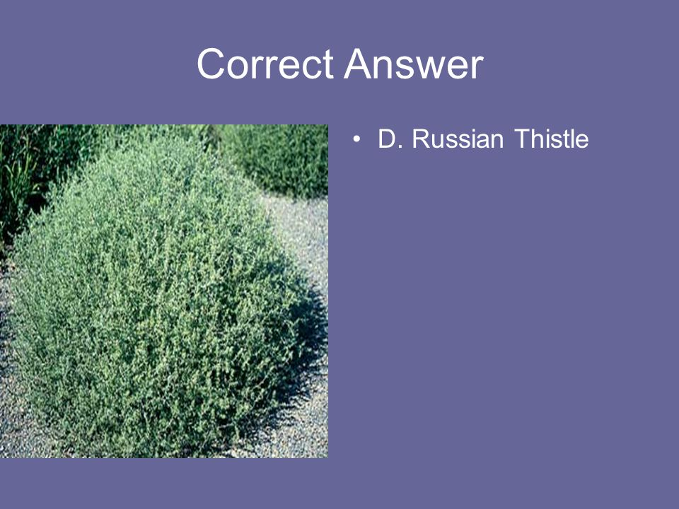Correct Answer D. Russian Thistle