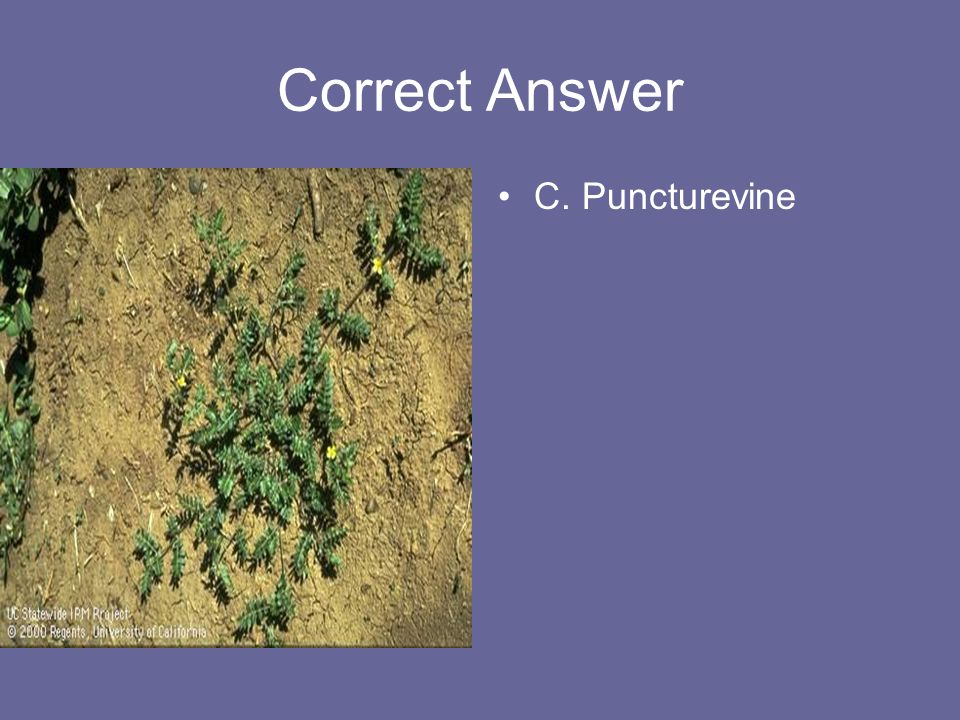 Correct Answer C. Puncturevine