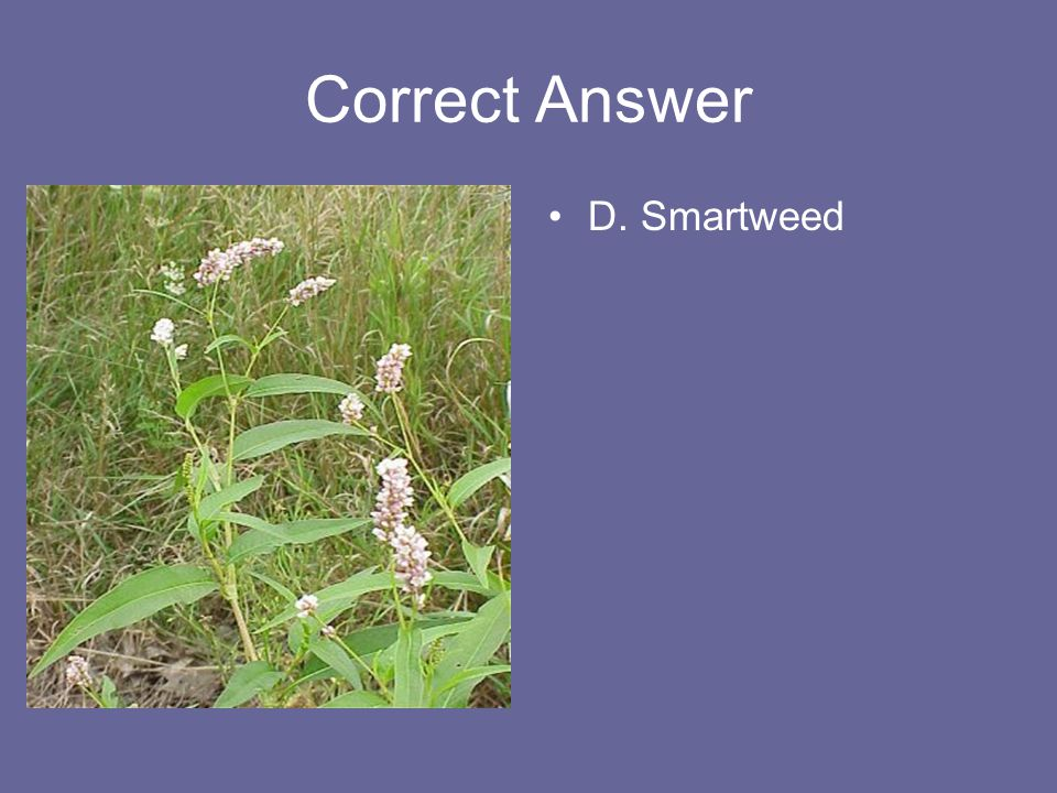 Correct Answer D. Smartweed