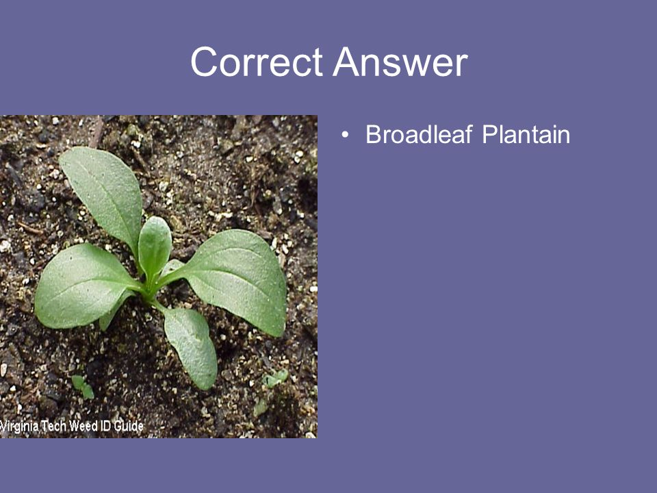 Correct Answer Broadleaf Plantain