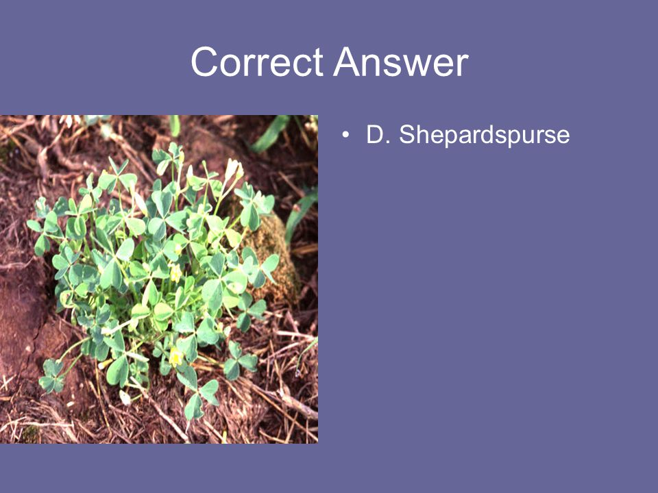 Correct Answer D. Shepardspurse