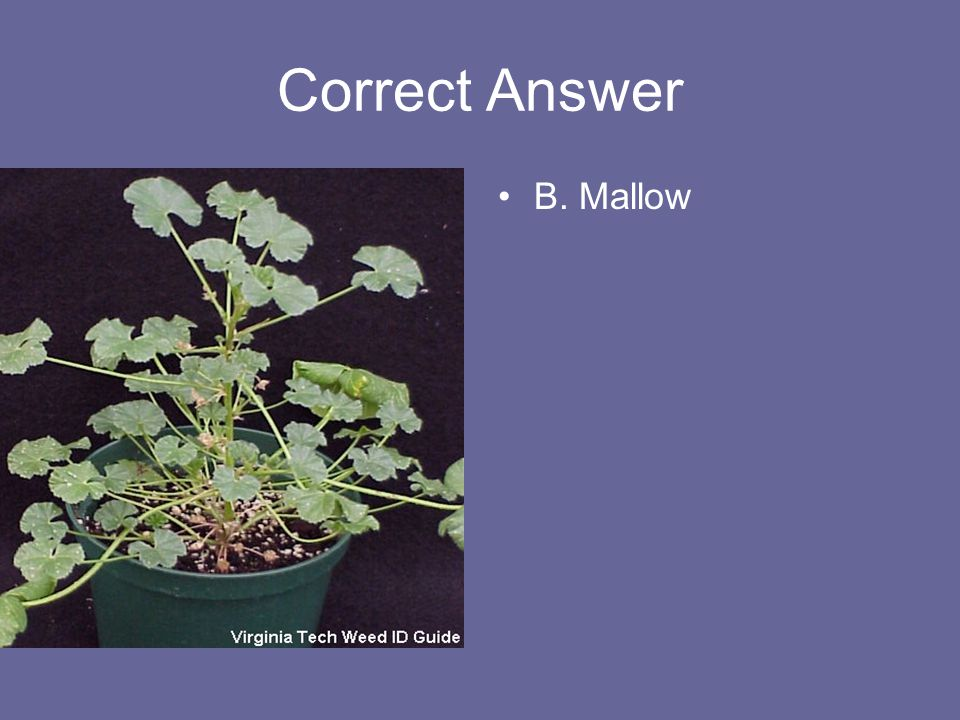 Correct Answer B. Mallow