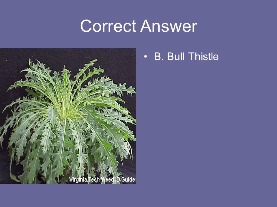 Correct Answer B. Bull Thistle