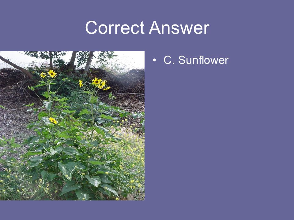 Correct Answer C. Sunflower