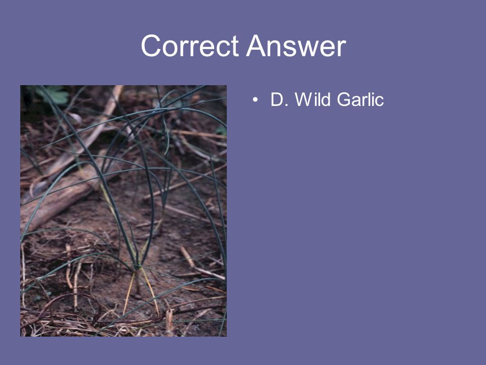 Correct Answer D. Wild Garlic