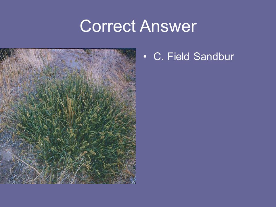 Correct Answer C. Field Sandbur