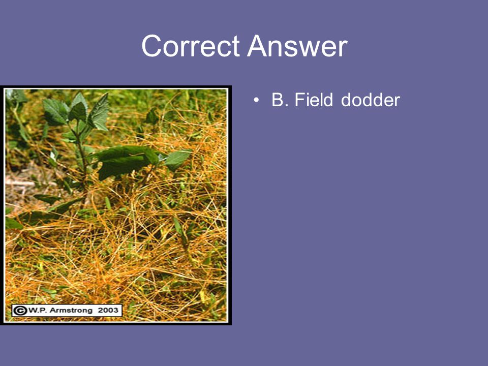 Correct Answer B. Field dodder