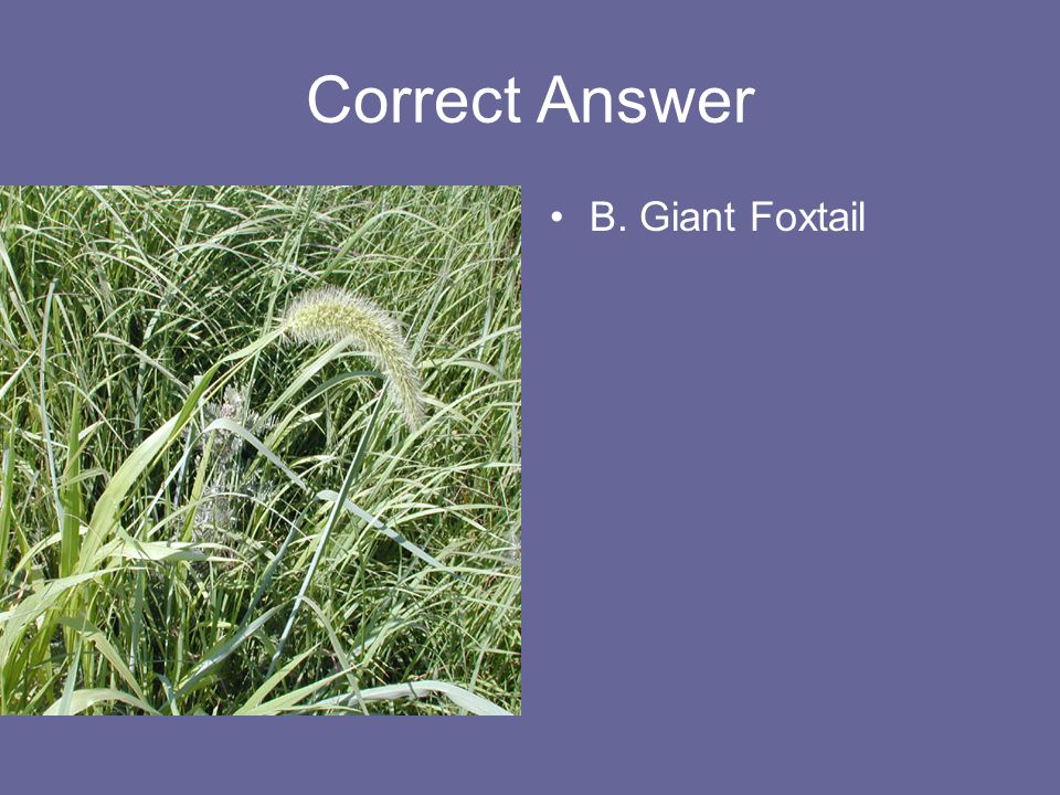 Correct Answer B. Giant Foxtail