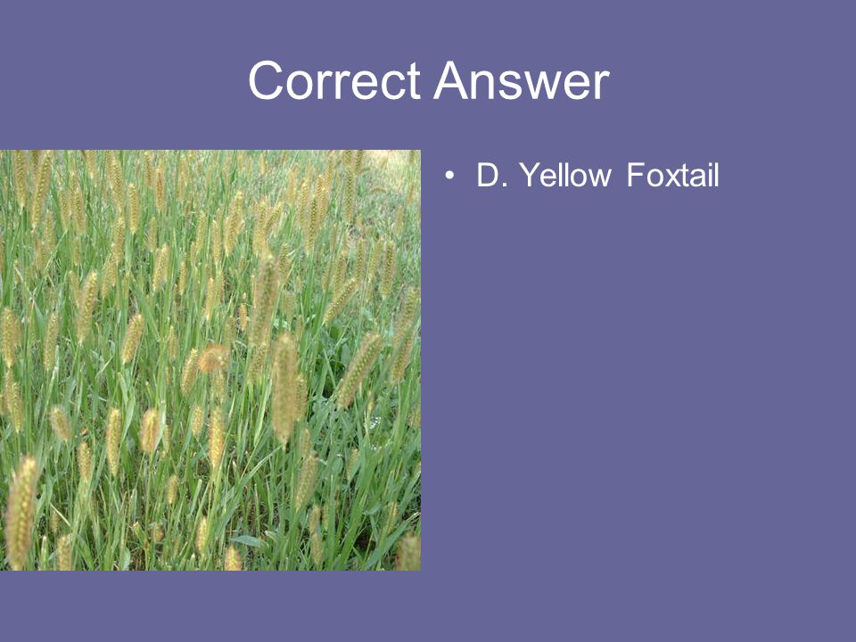 Correct Answer D. Yellow Foxtail