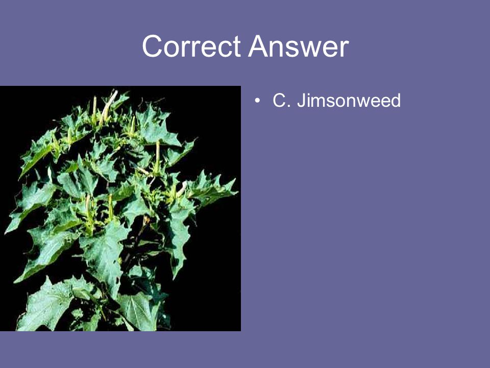 Correct Answer C. Jimsonweed