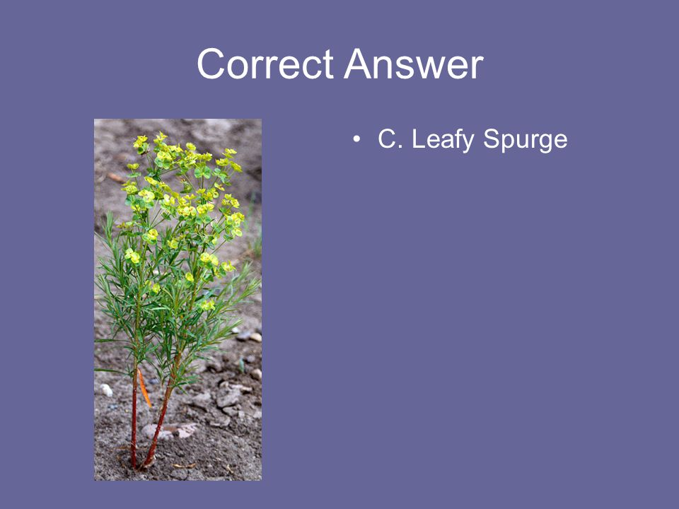 Correct Answer C. Leafy Spurge