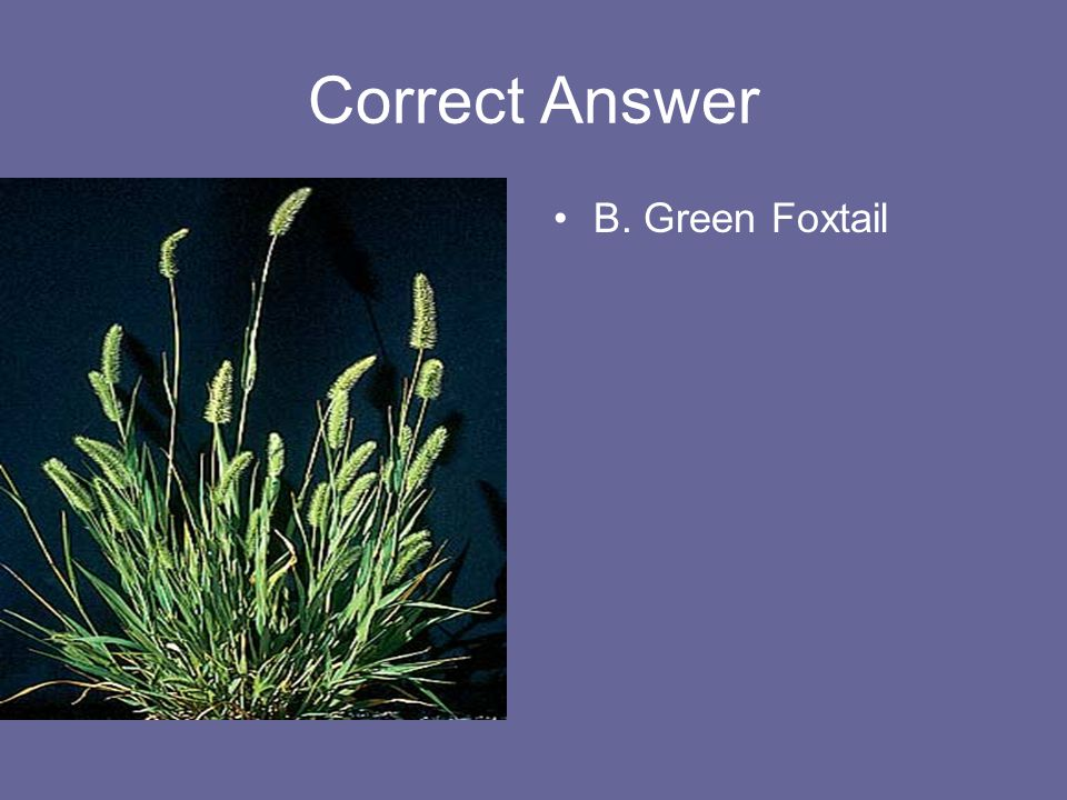 Correct Answer B. Green Foxtail