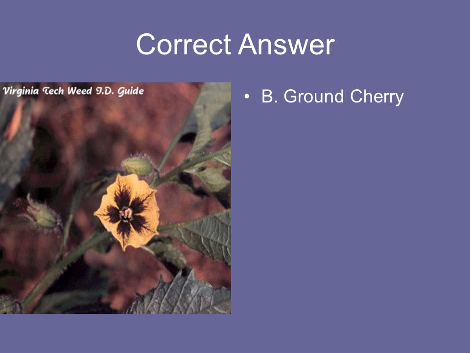 Correct Answer B. Ground Cherry