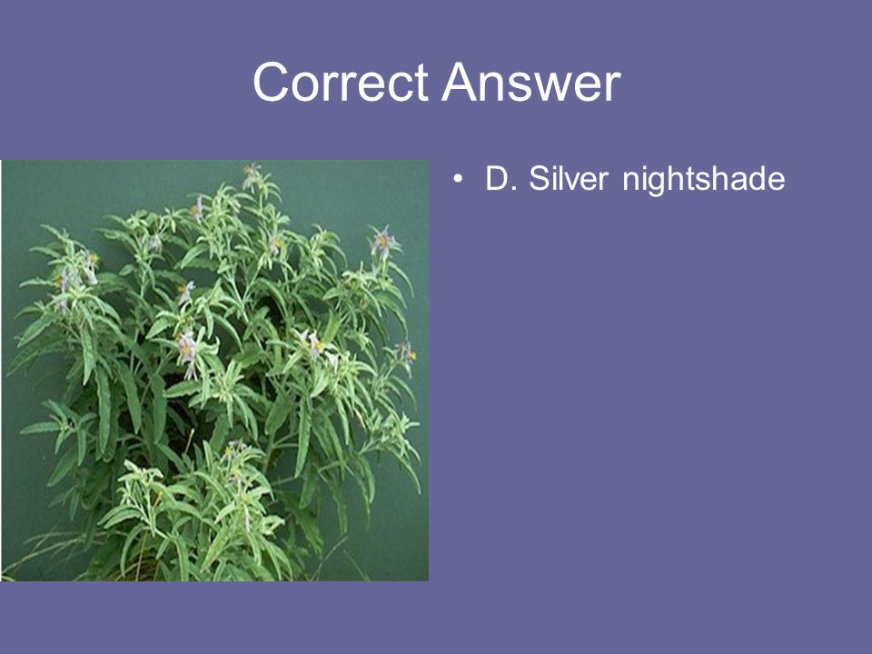 Correct Answer D. Silver nightshade