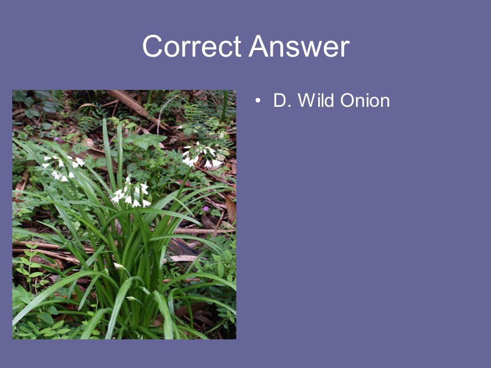 Correct Answer D. Wild Onion