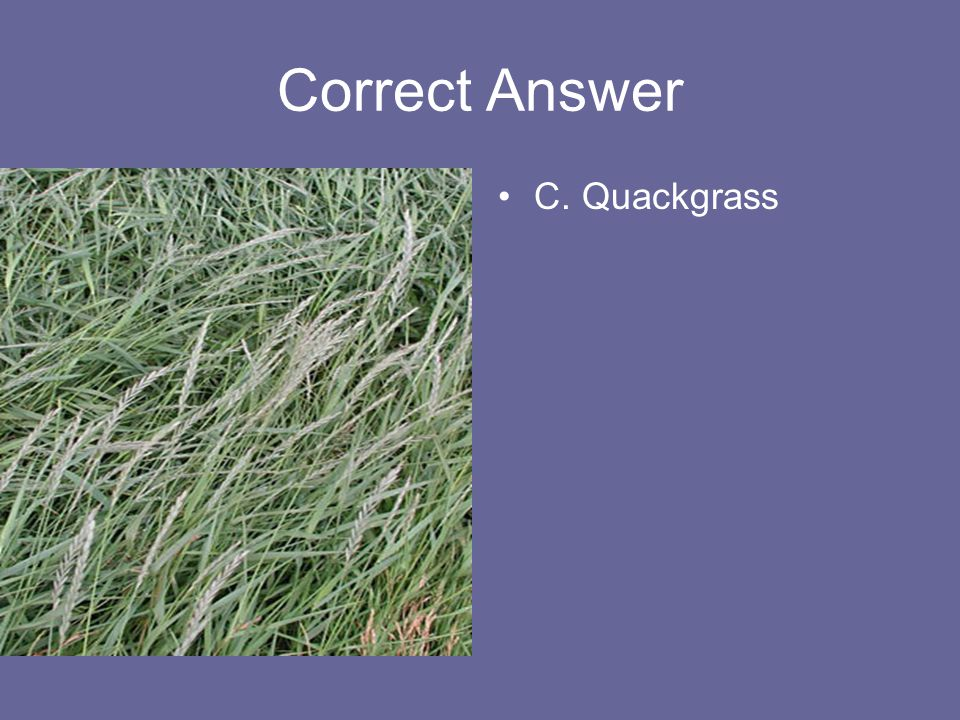 Correct Answer C. Quackgrass
