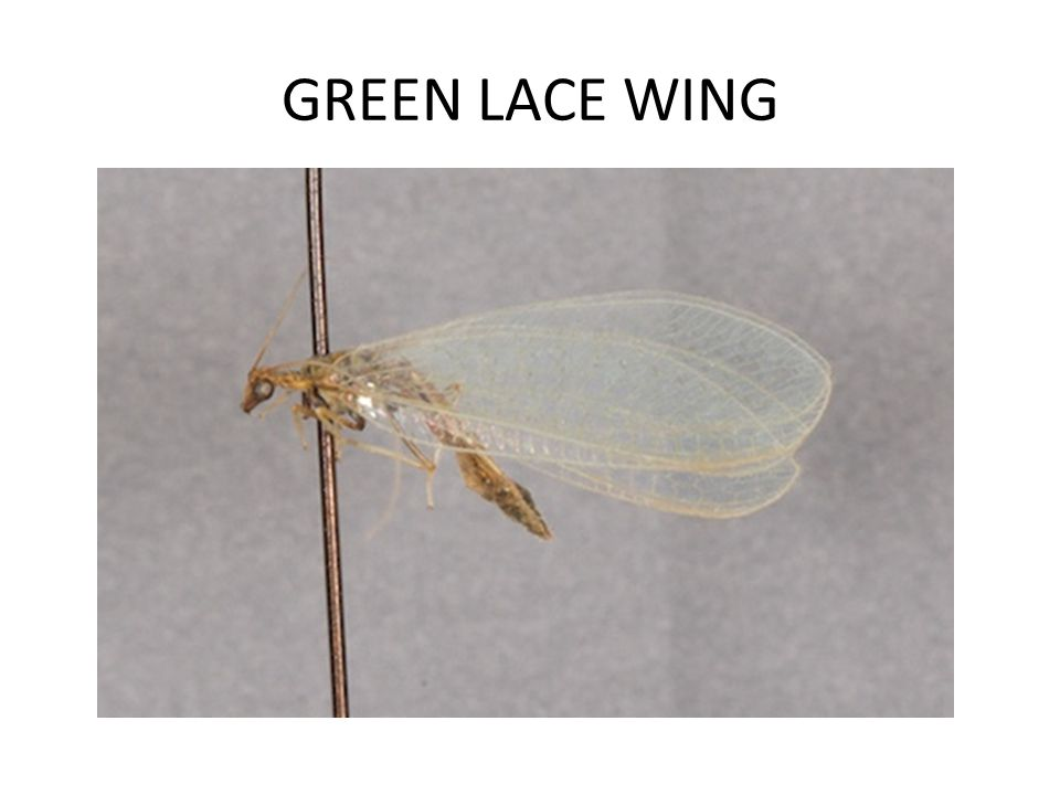 GREEN LACE WING