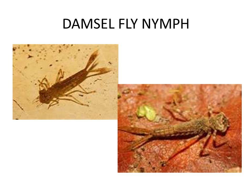 DAMSEL FLY NYMPH