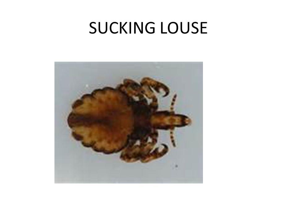 SUCKING LOUSE