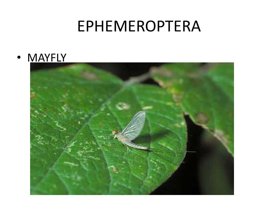 EPHEMEROPTERA MAYFLY