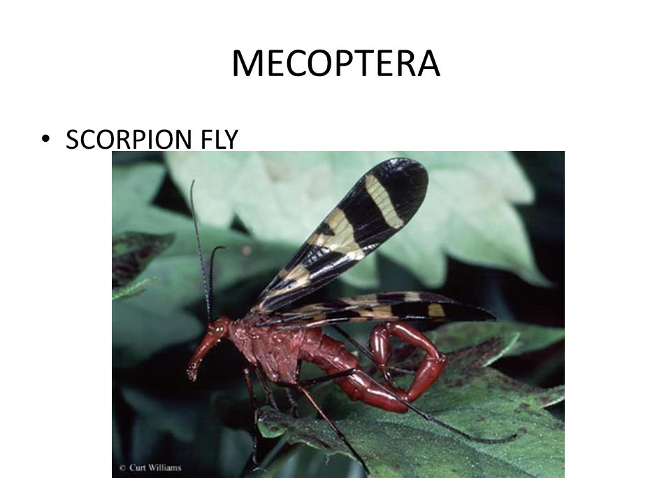 MECOPTERA SCORPION FLY