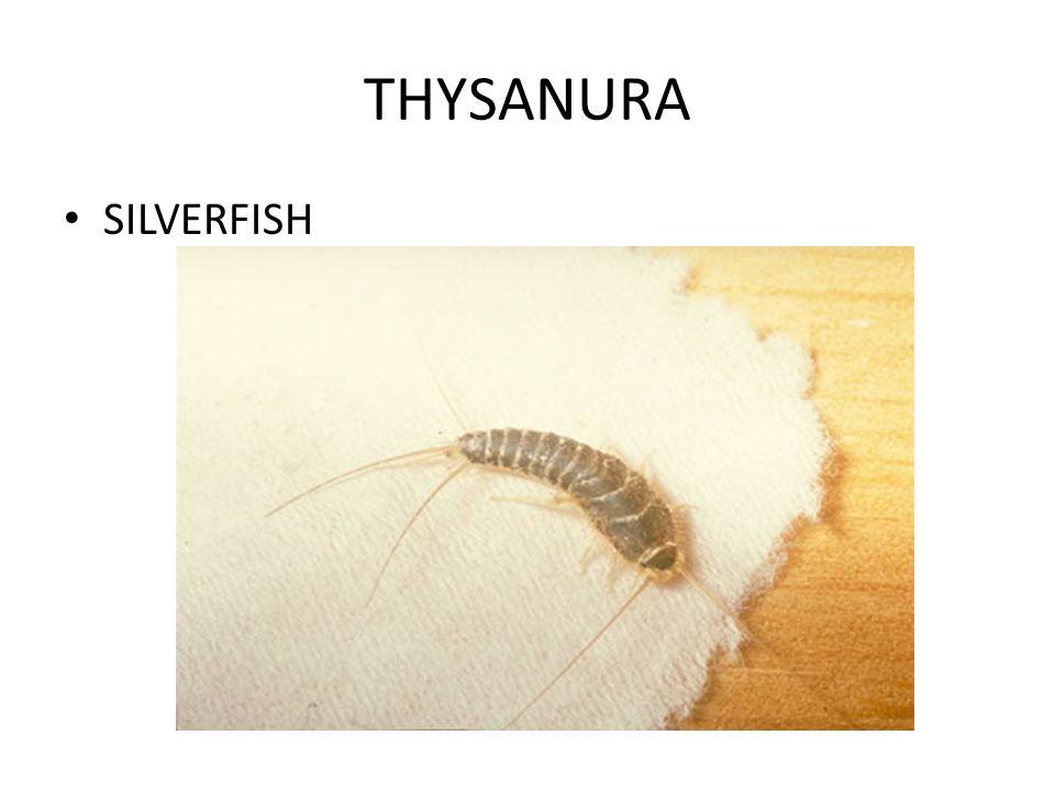 THYSANURA SILVERFISH