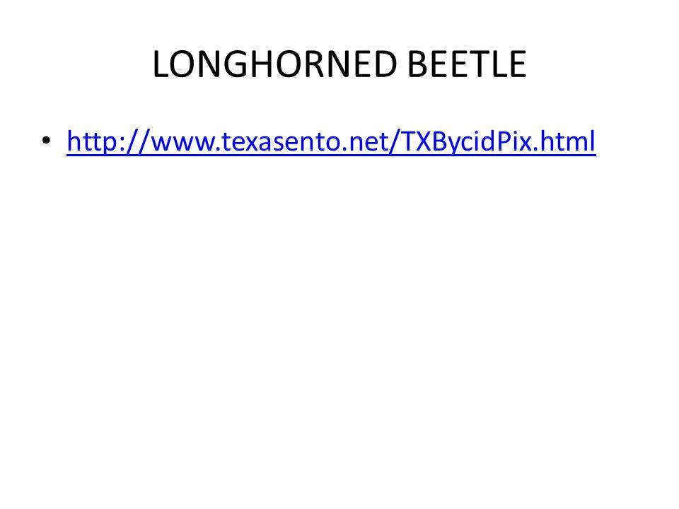 LONGHORNED BEETLE http://www.texasento.net/TXBycidPix.html