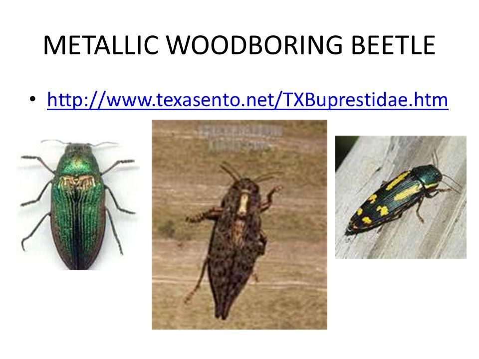 METALLIC WOODBORING BEETLE