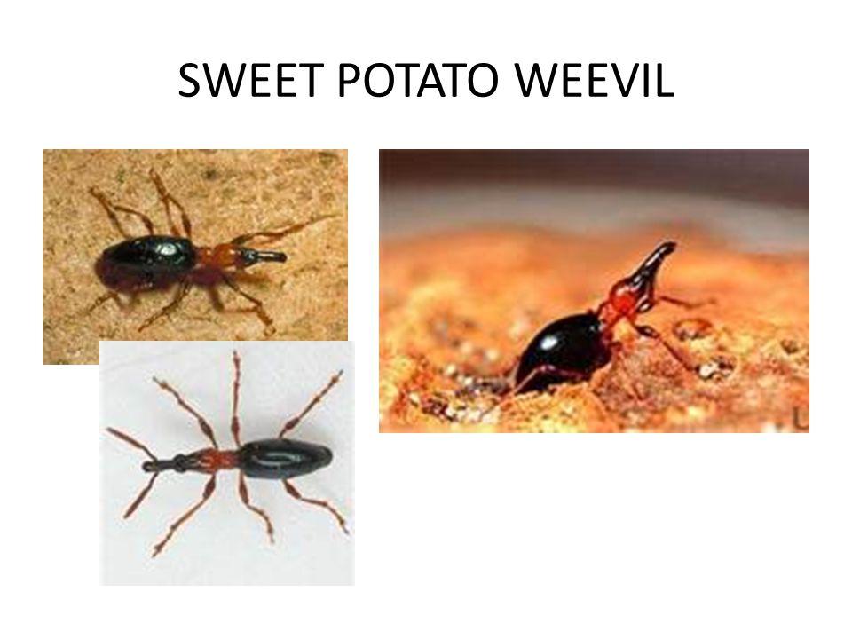 SWEET POTATO WEEVIL