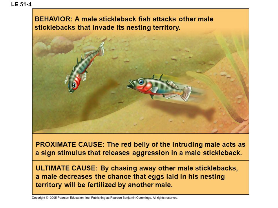 LE 51-4 BEHAVIOR: A male stickleback fish attacks other male sticklebacks that invade its nesting territory.