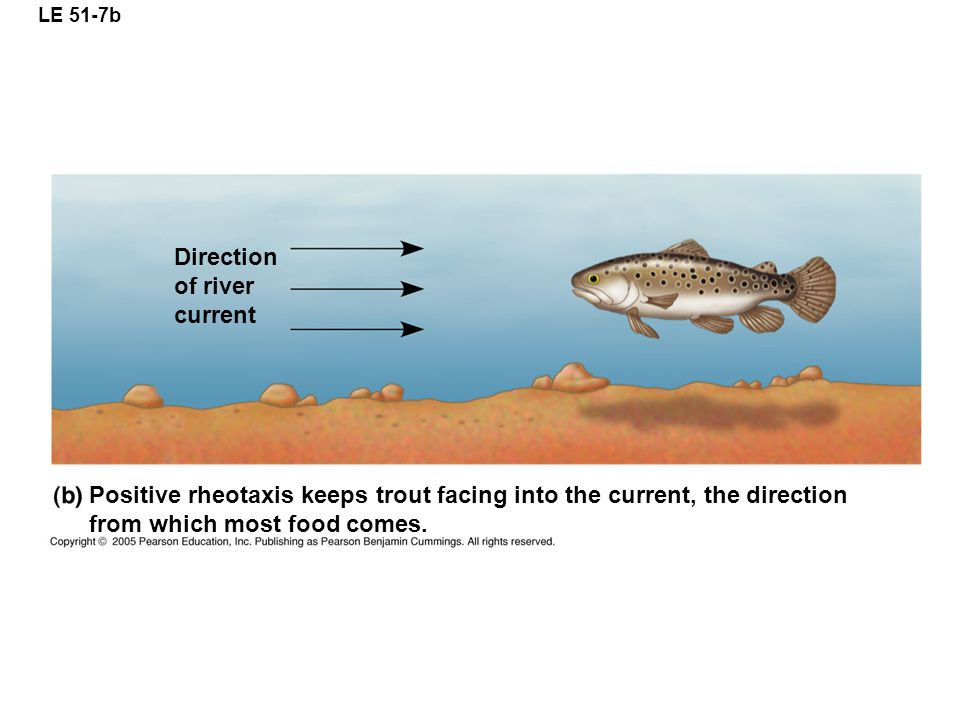 Positive rheotaxis keeps trout facing into the current, the direction