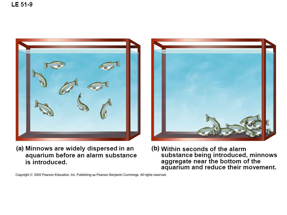 LE 51-9 Minnows are widely dispersed in an aquarium before an alarm substance is introduced.