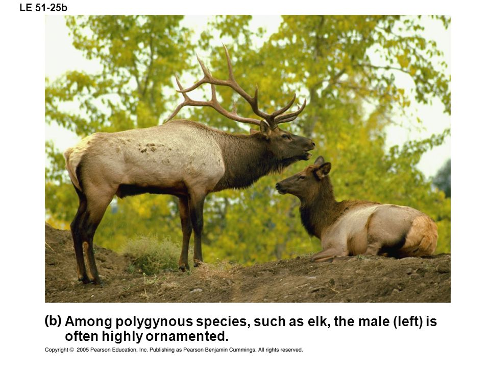 LE 51-25b Among polygynous species, such as elk, the male (left) is often highly ornamented.