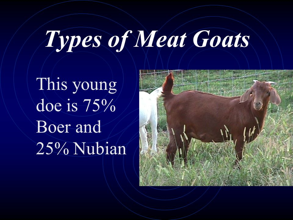Types of Meat Goats This young doe is 75% Boer and 25% Nubian