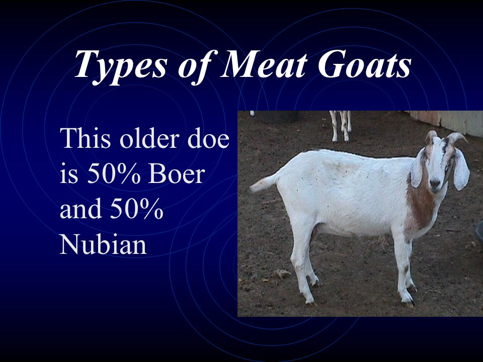 Types of Meat Goats This older doe is 50% Boer and 50% Nubian