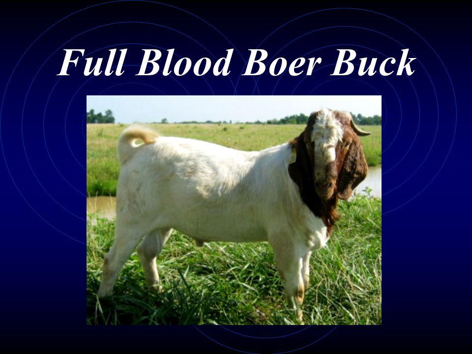 Full Blood Boer Buck
