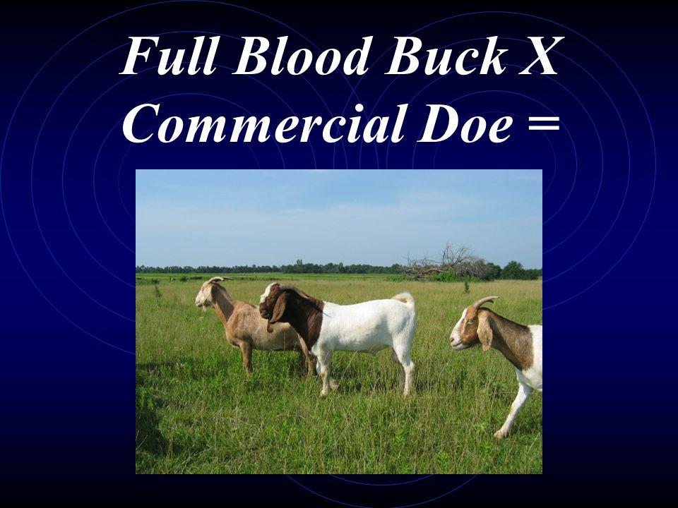 Full Blood Buck X Commercial Doe =
